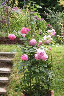 Strauchrose 'Jubilee Celebration'  ® - Rosa 'Jubilee Celebration' ®