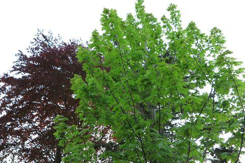 Ahorn 'Jeffersred Autumn Blaze' ® - Acer freemanii 'Jeffersred Autumn Blaze' ®