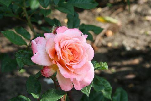 Strauchrose 'Baum's  Rokoko' - Rosa rugosa 'Baum's Rokoko'