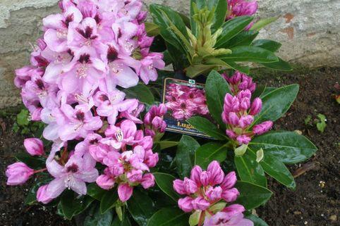 Rhododendron 'Lugano' - Rhododendron Hybride 'Lugano'