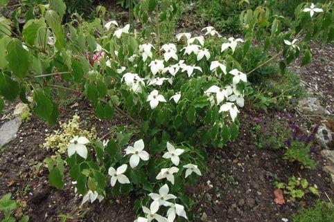 Chinesischer Blumen-Hartriegel 'Claudia' - Cornus kousa chinensis 'Claudia'