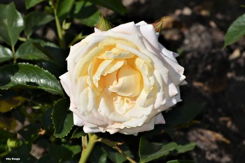 Beetrose 'Hermann-Hesse-Rose' ® - Rosa 'Hermann-Hesse-Rose' ® ADR-Rose