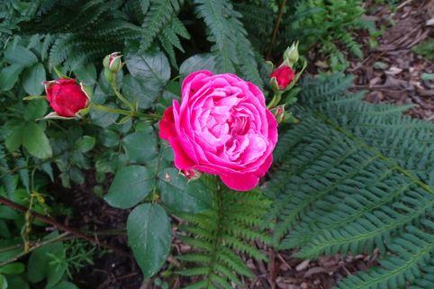 Beetrose 'Pharina' - Rosa 'Pharina'