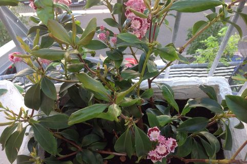 Berglorbeer 'Bandeau' - Kalmia latifolia 'Bandeau'