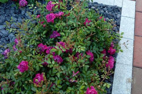 Bodendeckerrose 'Purple Rain' ® - Rosa 'Purple Rain' ®