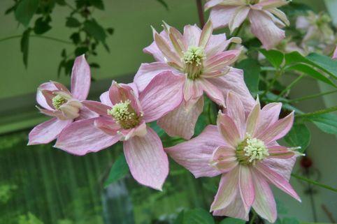 Clematis 'Broughton Star' - Clematis montana 'Broughton Star'