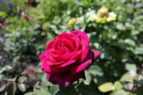 Edelrose 'Gräfin Diana' - Rosa 'Gräfin Diana' ®