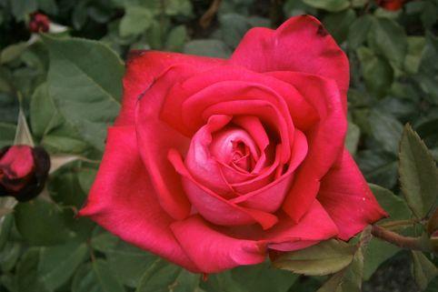 Edelrose 'Mainauduft' ® - Rosa 'Mainauduft' ®