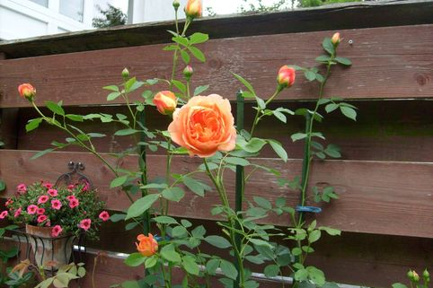 Englische Rose 'Lady of Shalott' - Rosa 'Lady of Shalott'