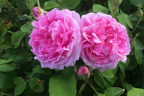 Historische Rose 'Mme Boll' - Rosa 'Mme Boll'