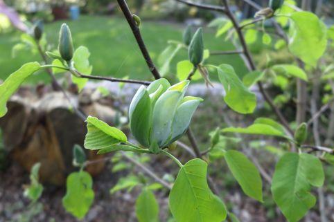 Magnolie 'Blue Opal' - Magnolia 'Blue Opal'