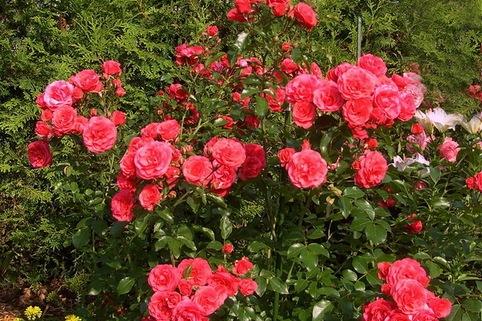 Strauchrose 'Elveshörn' ® - Rosa 'Elveshörn'