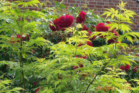 Traubenholunder 'Plumosa Aurea' - Sambucus racemosa 'Plumosa Aurea'