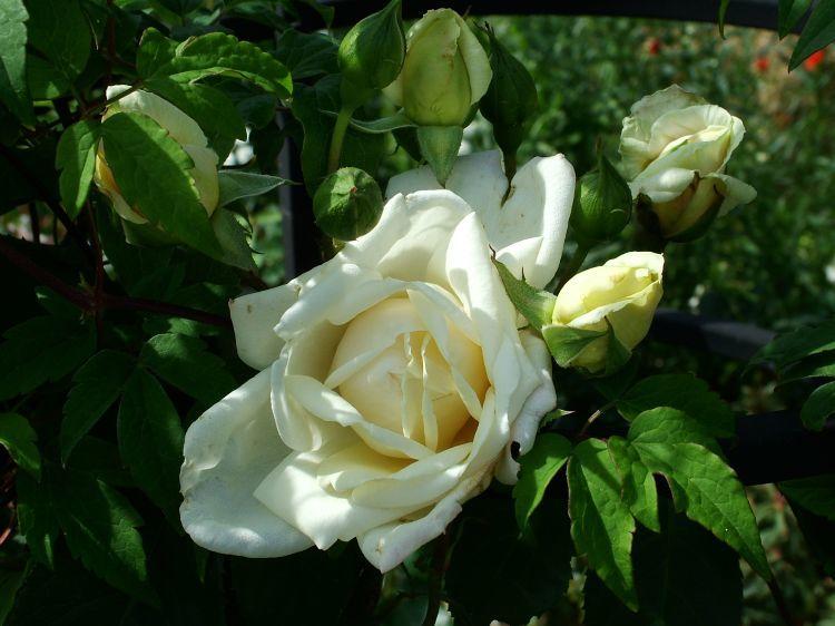 cremeweiß Rosa Ilse Krohn Kletterrose Ilse Krohn Superior® Superior® Duf