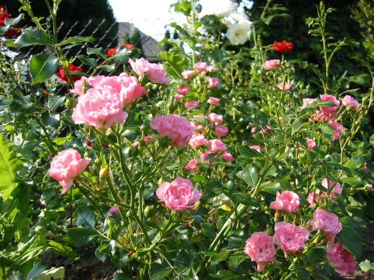 von Garten Schl/üter Rosa Rose Pflanze Winterhart Halbschattig gesundes Laub Pflanzen in Top Qualit/ät Rose Kurf/ürstin Sophie Beetrose rosafarbene Bl/üten