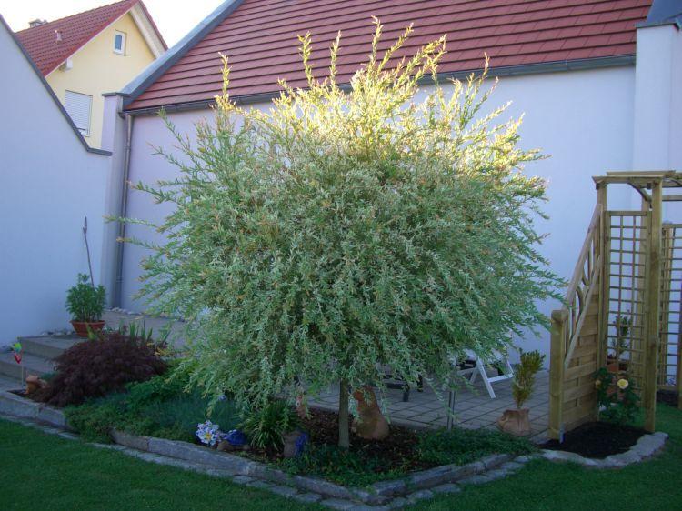 viele Gr/ö/ßen Salix Hakuro Nishiki japanische Harlekin Weide St/ämmchen Stamm Stammh/öhe 40 cm