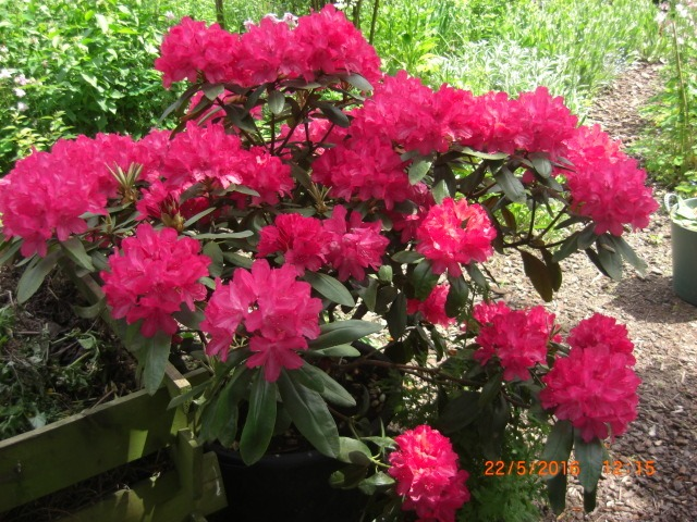Rhododendron 'Astrid' (S) - Rhododendron yakushimanum 'Astrid' (S ...