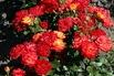 <c:out value='Beetrose 'Samba' ® - Rosa 'Samba' ®'/>