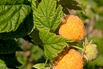 Himbeere 'Golden Everest' - Rubus idaeus 'Golden Everest'