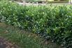 <c:out value='Kirschlorbeer / Lorbeerkirsche 'Diana' - Prunus laurocerasus 'Diana''/>