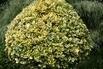 <c:out value='Goldbunte Kriechspindel 'Emerald'n Gold' - Euonymus fortunei 'Emerald'n Gold''/>