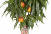 Zwerg-Nektarine - Prunus nuciperisca