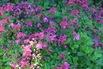 Zwerg-Rhododendron - Rhododendron camtschaticum