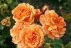 Beetrose 'Bentheimer Gold' ® - Rosa 'Bentheimer Gold' ® ADR-Rose