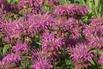 <c:out value='Bergamotte Indianernessel - Monarda fistulosa var. menthifolia'/>