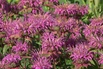 Bergamotte Indianernessel - Monarda fistulosa var. menthifolia