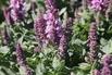 <c:out value='Blüten-Salbei 'Merleau Rose' ® - Salvia nemorosa 'Merleau Rose' ®'/>