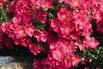 Bodendeckerrose 'Stadt Rom' ® - Rosa 'Stadt Rom' ® ADR-Rose