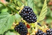 <c:out value='Brombeere 'Loch Ness' -S- - Rubus fruticosus 'Loch Ness' -S-'/>
