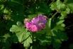 Cambridge-Storchschnabel 'Cambridge' - Geranium x cantabrigiense 'Cambridge'