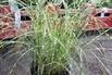 Chinaschilf 'Little Zebra' ® - Miscanthus sinensis 'Little Zebra' ®