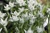 Edelweiß 'Zugspitze' - Leontopodium alpinum 'Zugspitze'