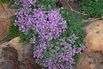 <c:out value='Filziger Thymian, Wolliger Thymian - Thymus praecox subsp. pseudolanuginosus'/>