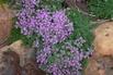 Filziger Thymian, Wolliger Thymian - Thymus praecox subsp. pseudolanuginosus