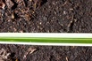 Goldrand Segge 'Aureovariegata' - Carex morrowii 'Aureovariegata'