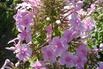 Großblättrige Flammenblume 'Kleiner Augenstern' - Phlox amplifolia 'Kleiner Augenstern'