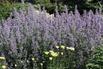 Großblütige Katzenminze 'Bramdean' - Nepeta grandiflora 'Bramdean'