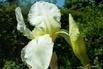 Hohe Schwertlilie 'Lugano' - Iris x barbata-elatior 'Lugano'