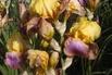 Hohe Schwertlilie 'Sunset Sky' - Iris x barbata-elatior 'Sunset Sky'