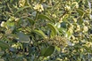 <c:out value='Hoher Buchsbaum - Buxus sempervirens var. arborescens'/>