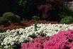 Japanische Azalee 'Feenkissen' ® (S) - Rhododendron obtusum 'Feenkissen' ® (S)
