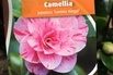 Japanische Kamelie 'Lavinia Maggi' - Camellia japonica 'Lavinia Maggi'