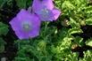Niedrige Glockenblume 'Blaue Clips' - Campanula carpatica 'Blaue Clips'