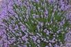 <c:out value='Lavendel 'Loddon Blue' - Lavandula angustifolia 'Loddon Blue''/>