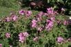 <c:out value='Oxford Garten Storchschnabel 'Phoebe Noble' - Geranium x oxonianum 'Phoebe Noble''/>