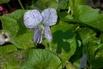 <c:out value='Pfingst Veilchen 'Freckles' - Viola sororia 'Freckles''/>